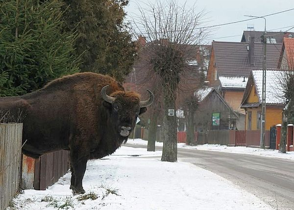 Takie widoki tylko u nas! Żubr na ulicy w Białowieży. Fot. I. Smerczyński